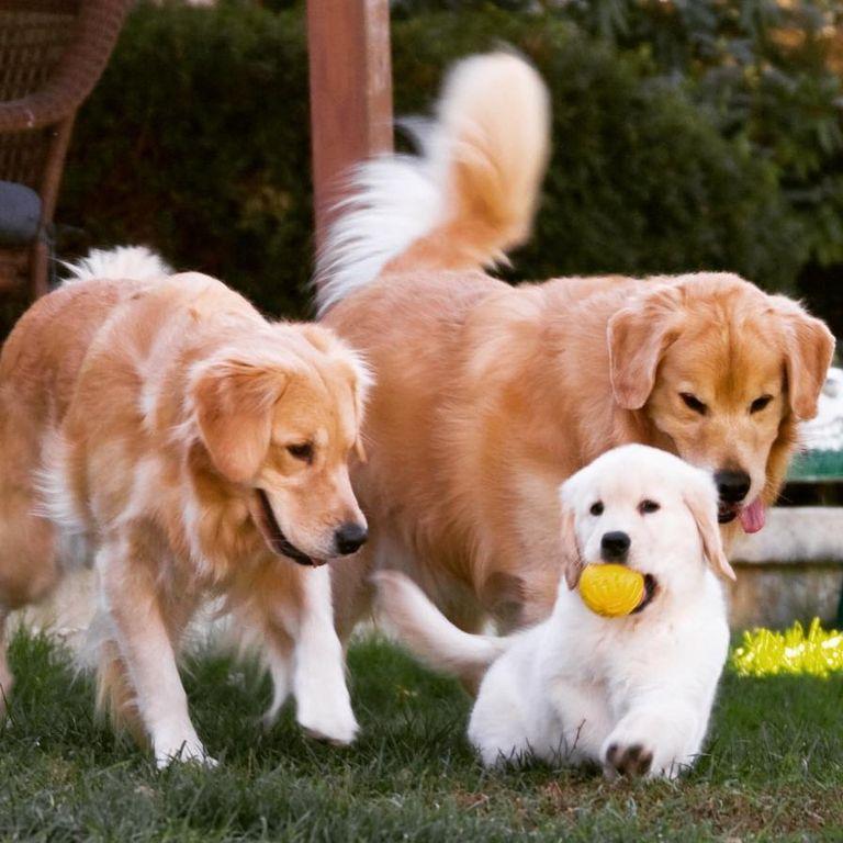 Golden Retriever Rescue Nj   Top Dog Information