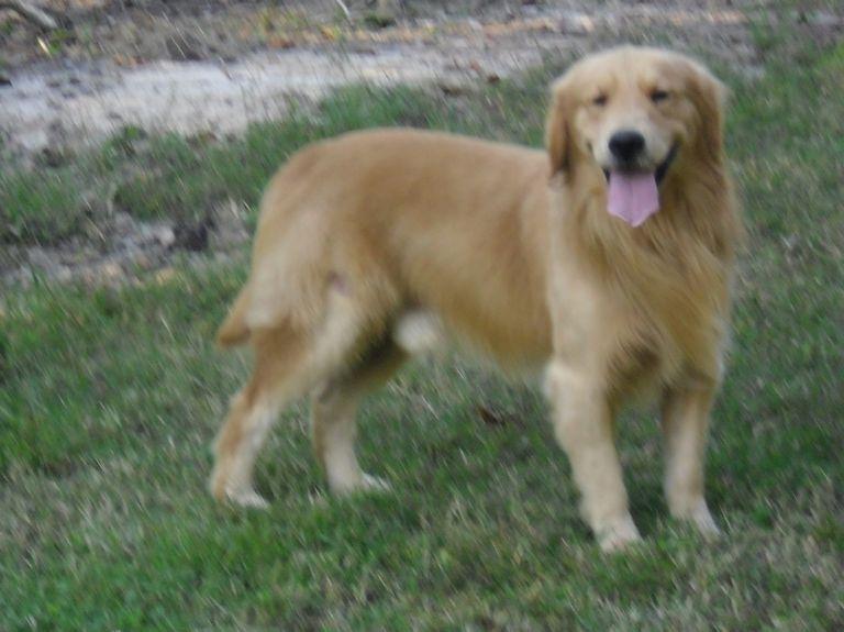 Golden Retriever Rescue Raleigh Nc