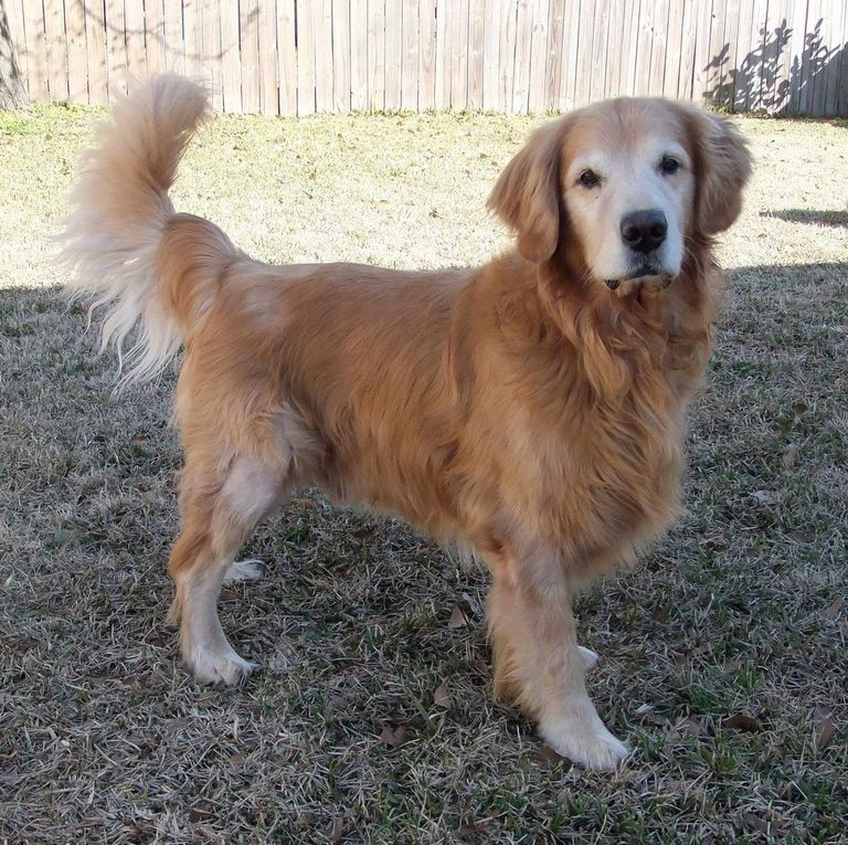 Golden Retriever Rescues By State