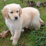 Golden Retrievers For Sale In Clintonville Wi
