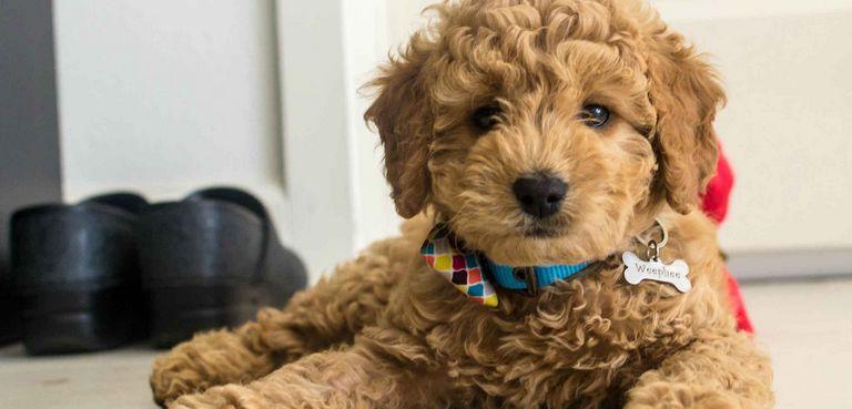 Goldendoodle For Adoption Orlando