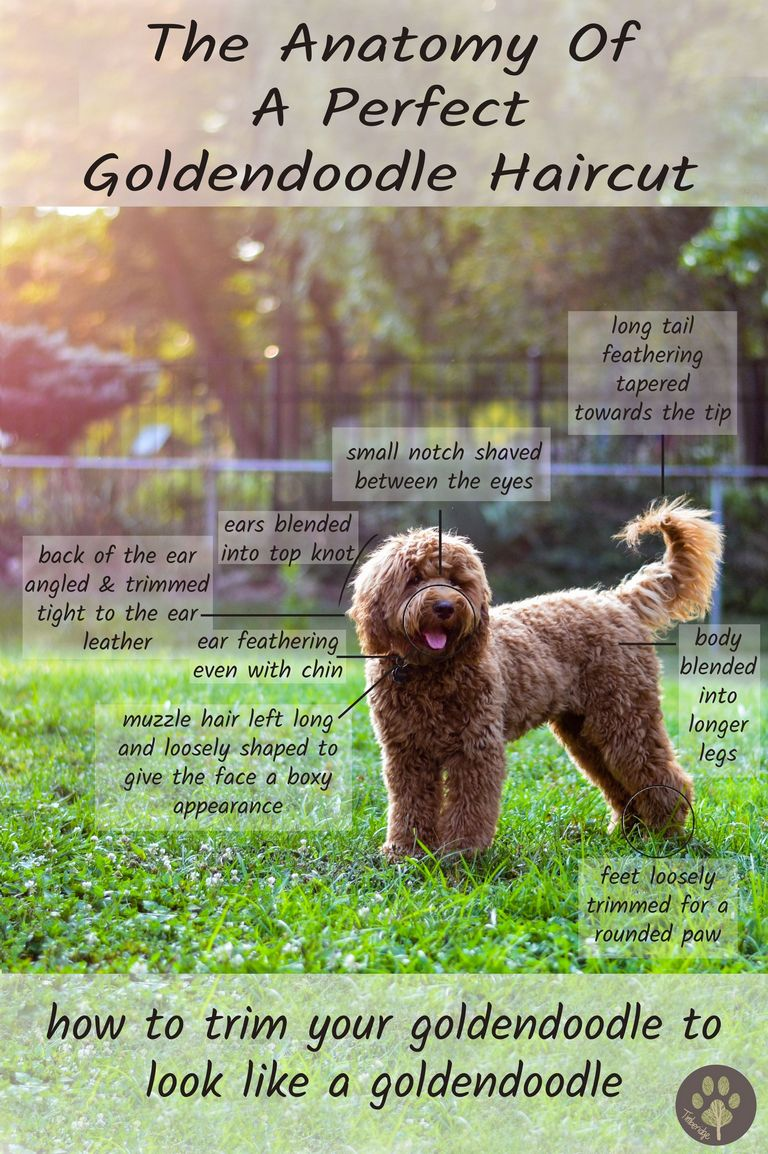 Goldendoodle Haircut Guide
