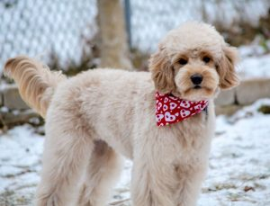 Goldendoodle Lamb Cut