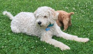 Goldendoodle Puppies Clarkston Mi