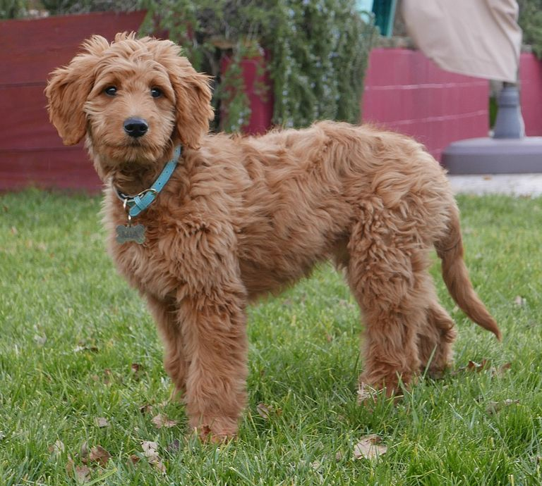 Goldendoodle Puppies For Sale In Kansas City Area
