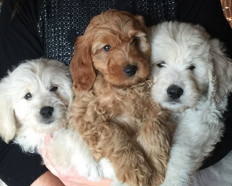Goldendoodle Puppies For Sale In Ky