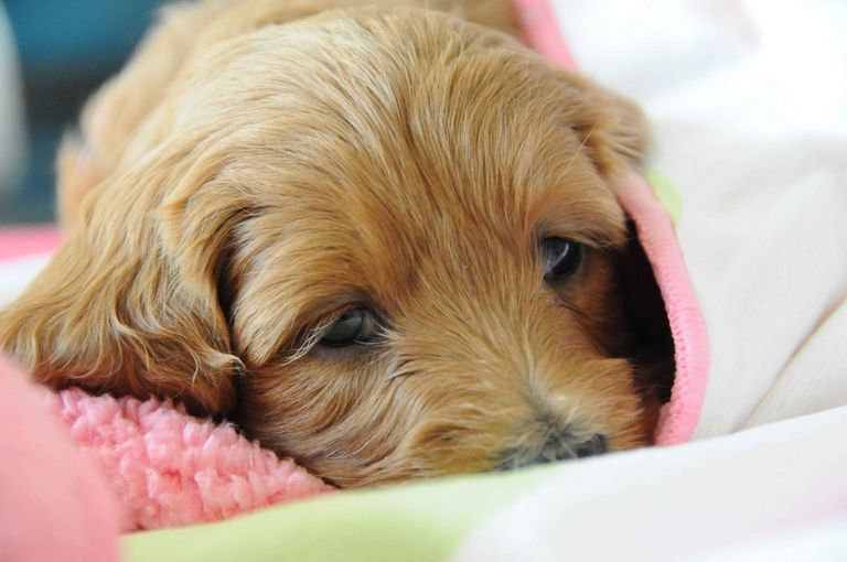 Goldendoodle Puppies Syracuse Ny