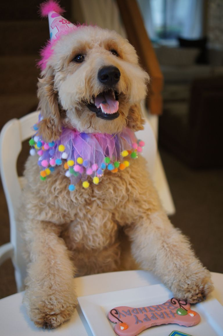 Goldendoodle Rescue Long Island