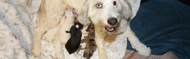 Goldendoodle Rescue Va