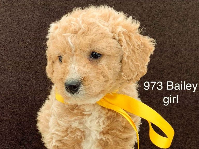 Goldendoodles For Sale In Ky
