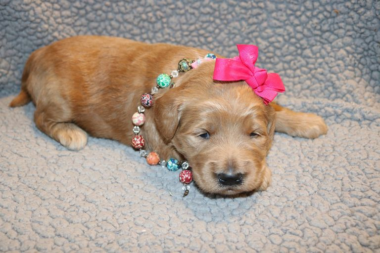 Goldendoodles For Sale In Louisiana