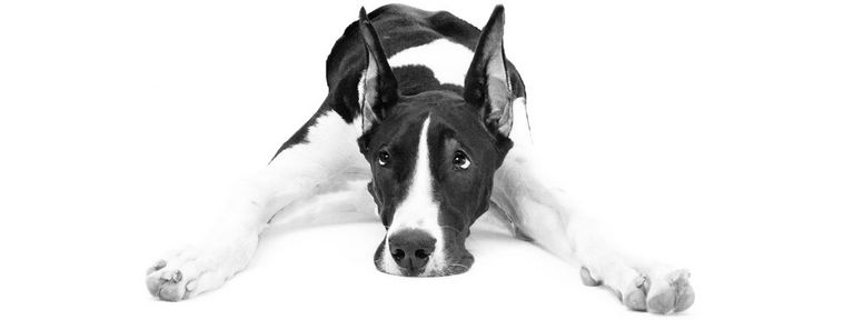 Great Dane Mix Puppies For Sale In Ma