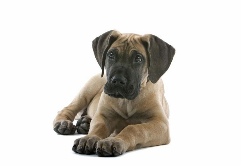 Great Dane Puppies For Sale In Indiana