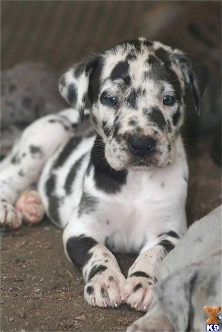 Great Dane Puppies For Sale In Ky Craigslist | Top Dog ...
