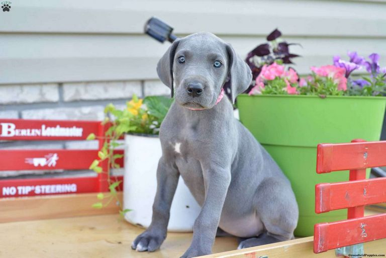 Great Dane Puppies For Sale In Ny
