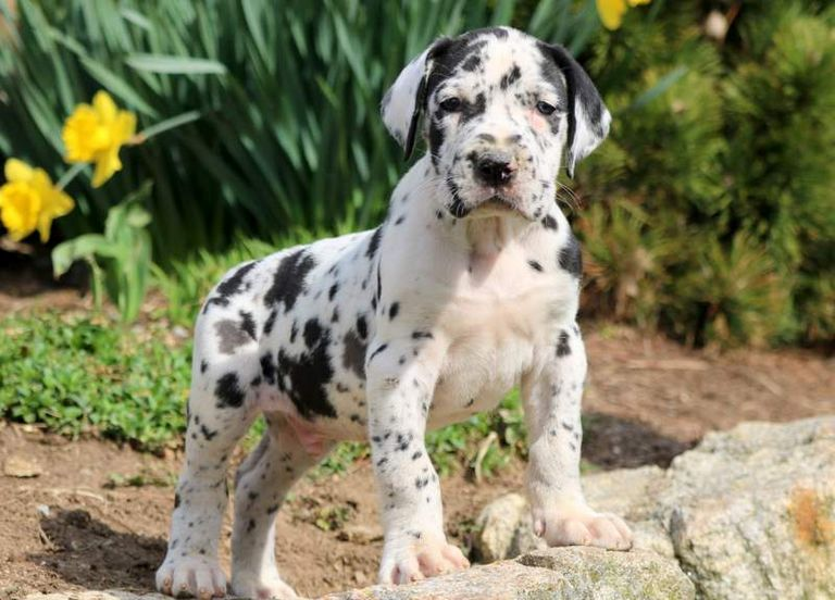 Great Dane Puppies For Sale In Pa Top Dog Information