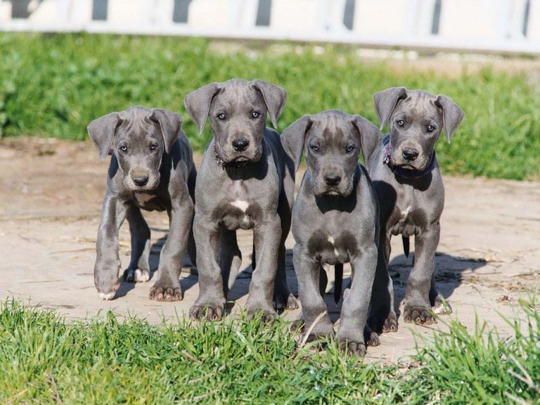 Great Dane Puppies Nebraska