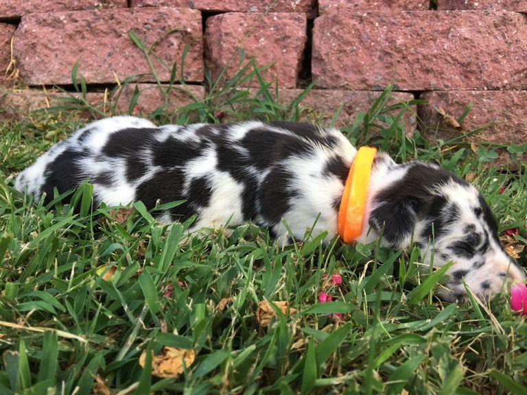 Great Dane Puppies North Carolina