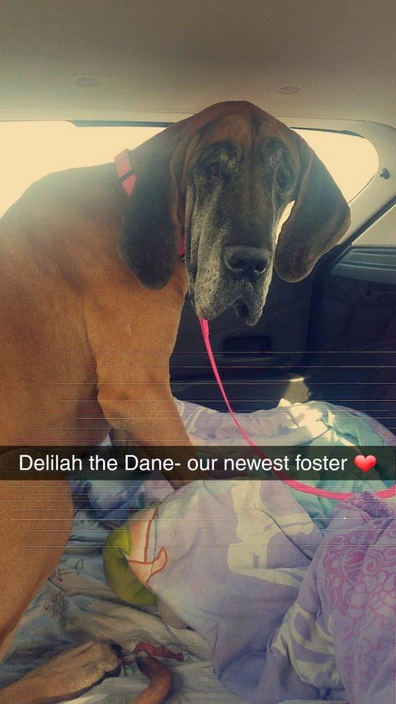 Great Dane Rescue Missouri