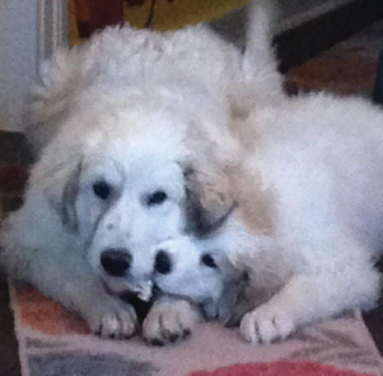 Great Pyrenees Rescue Ohio
