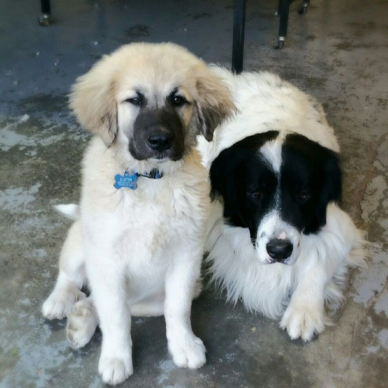 Great Pyrenees Rescue Pa