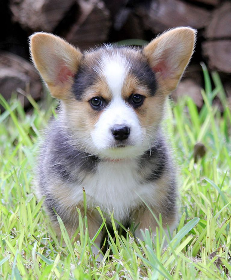 Green Country Pembroke Welsh Corgi Rescue