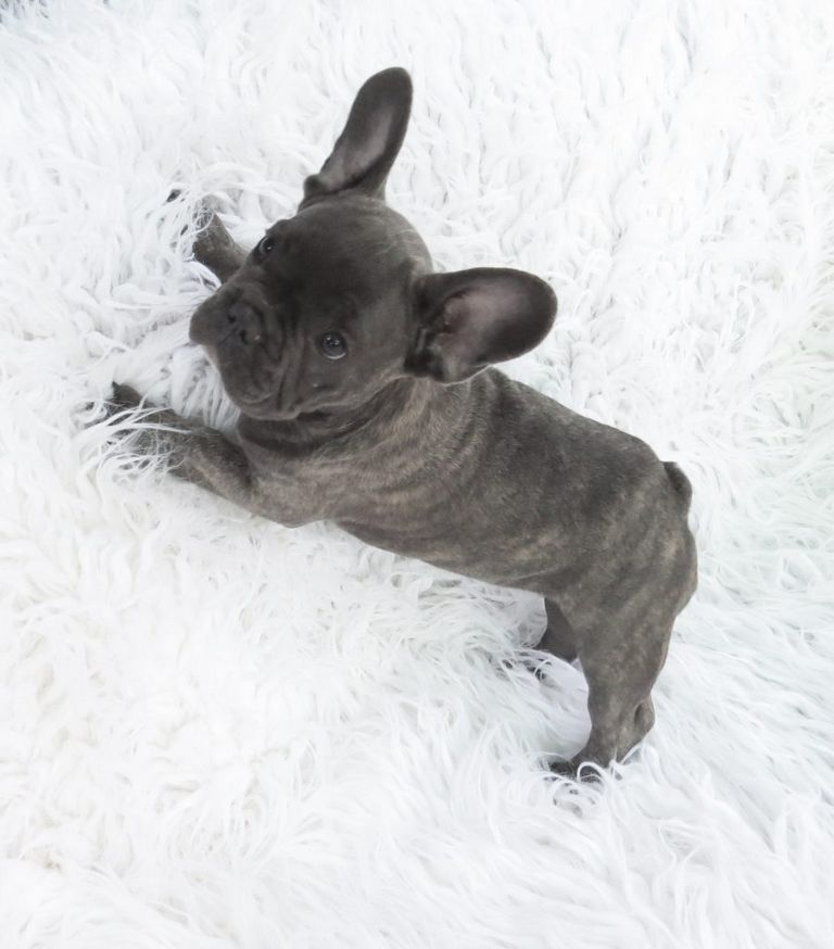 Grey French Bulldog For Sale