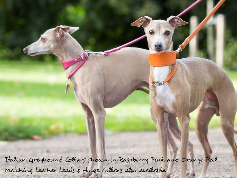Greyhound Collars And Leads