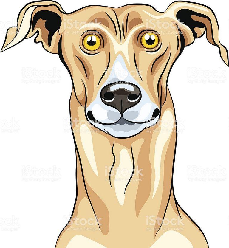 Greyhound Dog Breeds