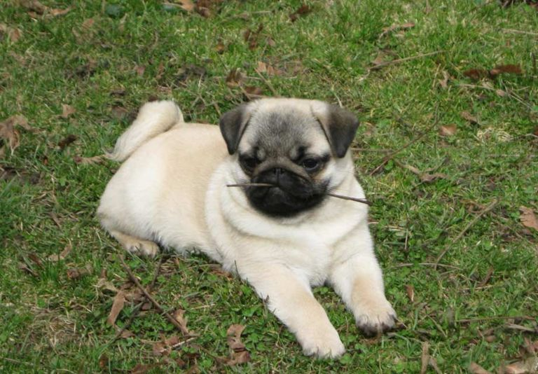 Happy Pugs Burlington Nj