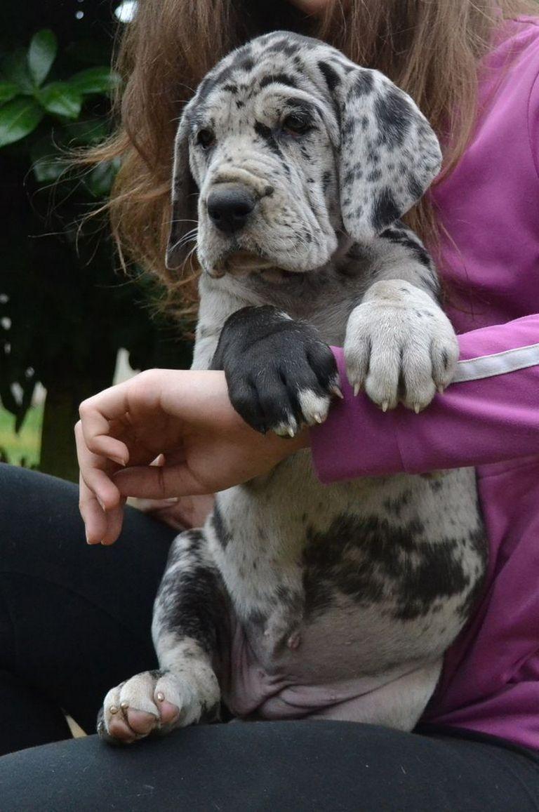 Harlequin Great Dane Rescue