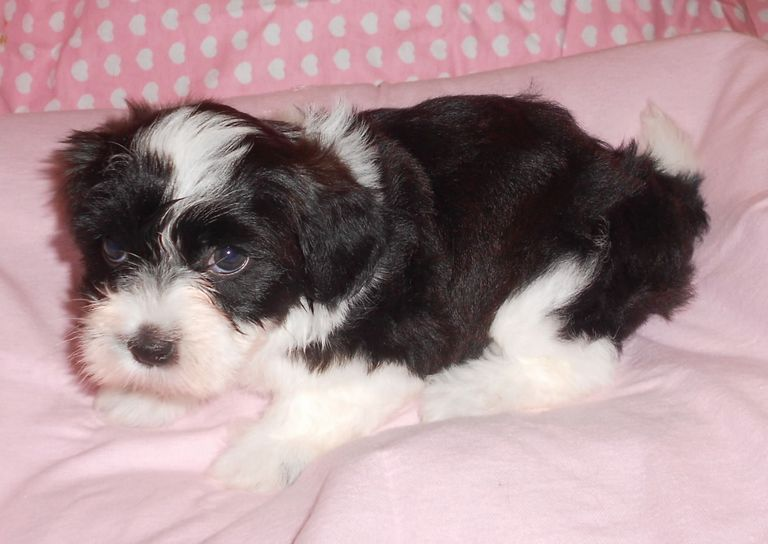 Havanese Breeders In Florida