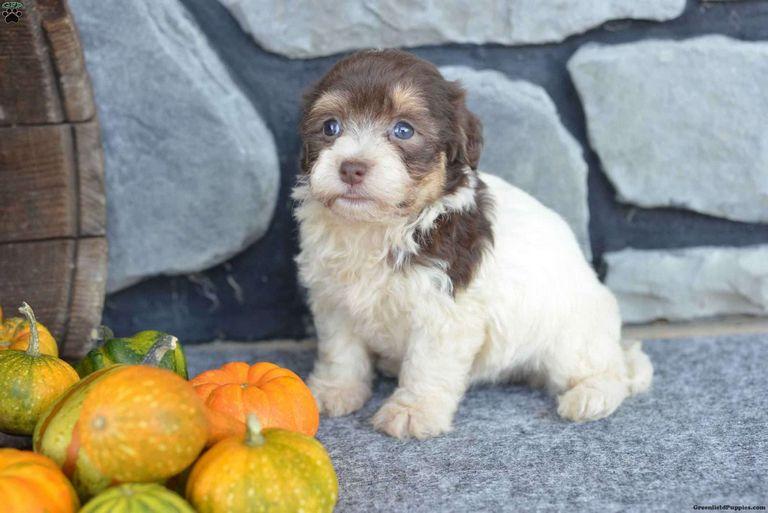 Havanese Puppies Ohio