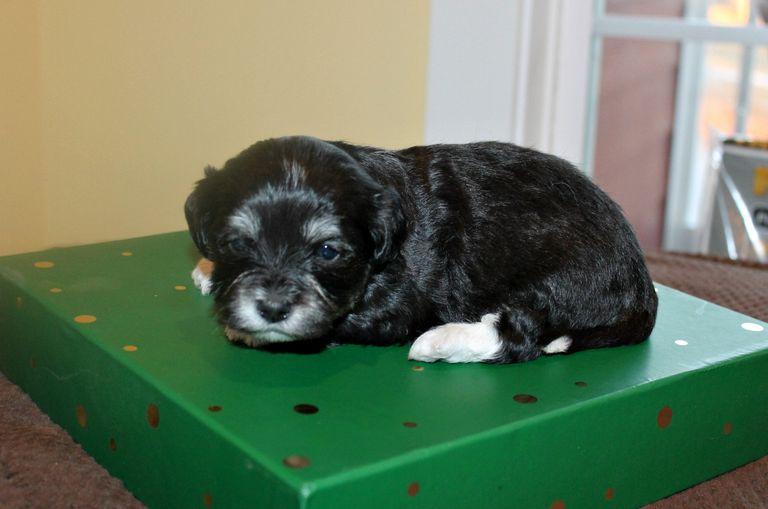 Havanese Puppies Online