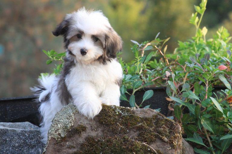 Havanese Puppies Price