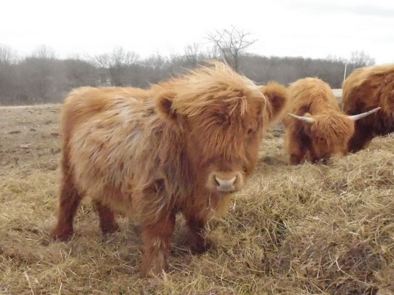 Highland Cattle For Sale Oklahoma