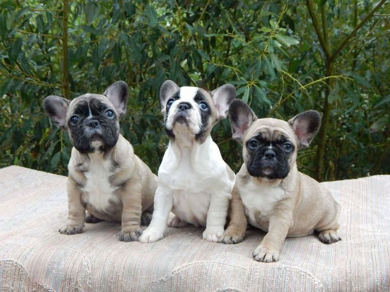 Hoobly French Bulldog