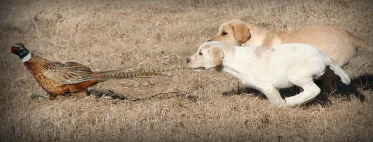 Hunting Beagles For Sale In Michigan