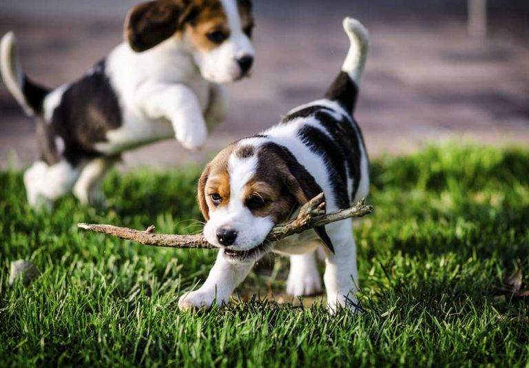 Hunting Beagles For Sale In Nc