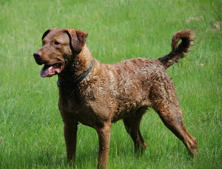 Hunting Dog Breed Crossword Clue