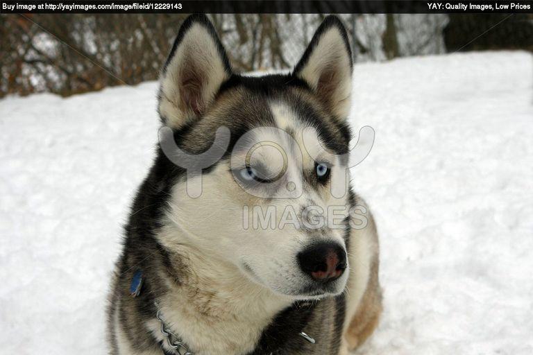 Husky Puppies For Sale Oahu