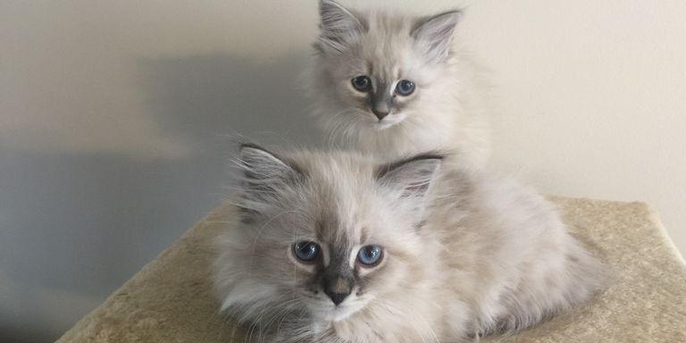 Hypoallergenic Cats For Sale In Ohio