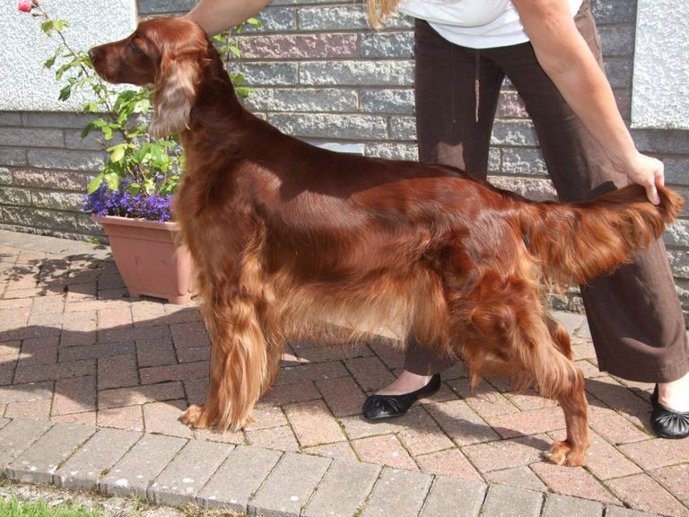 Irish Setter Puppies For Sale In Pa