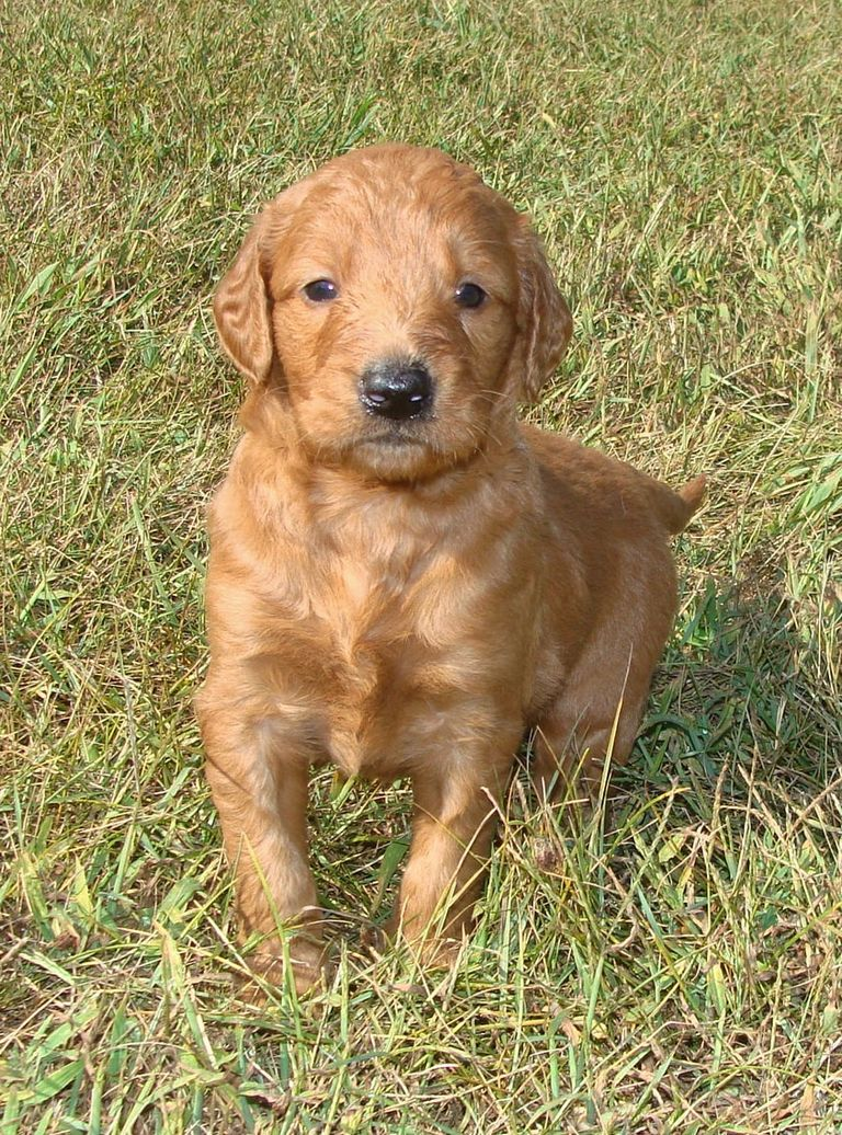 Irish Setter Puppies Indiana
