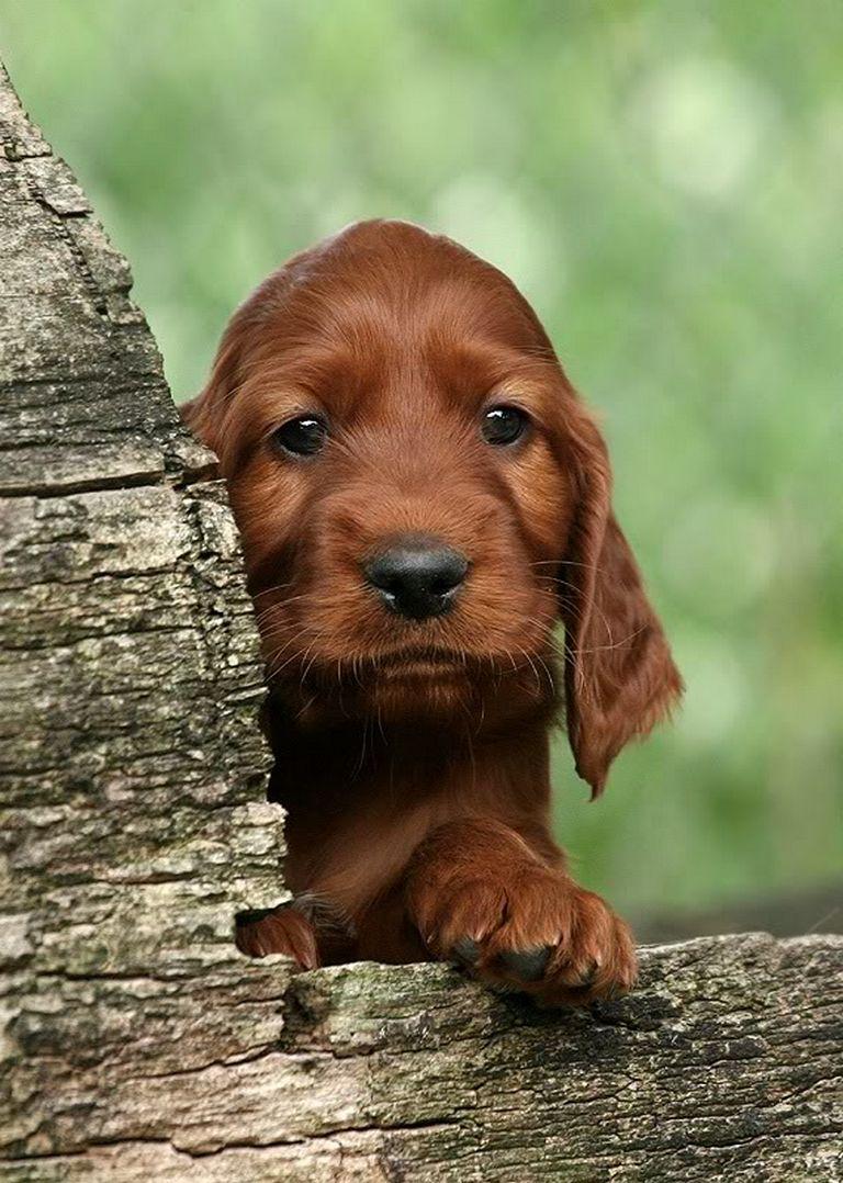 Irish Setter Puppies Mn