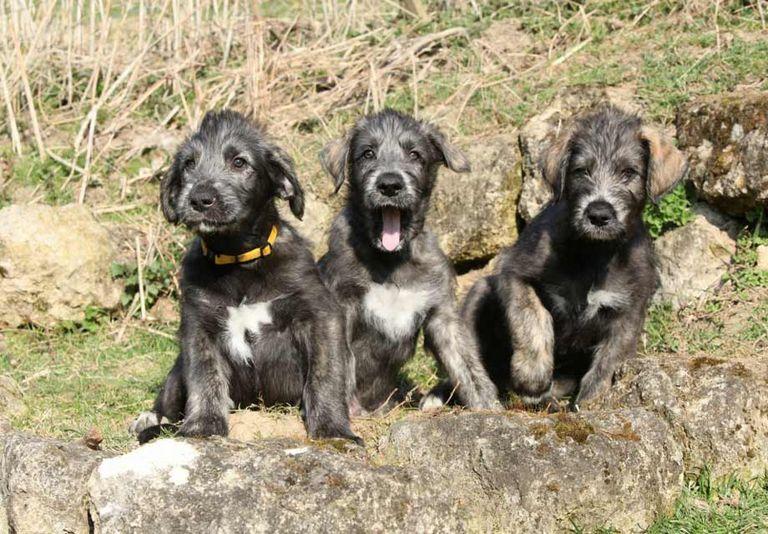 Irish Wolfhound Breeders Midwest
