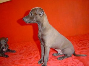 Italian Greyhound For Sale Craigslist