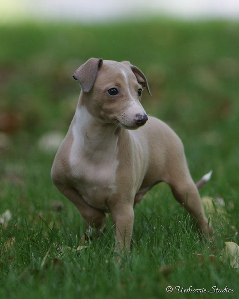 Italian Greyhound Puppies Nc