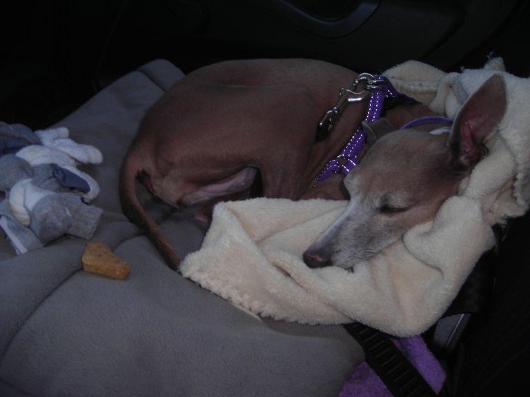 Italian Greyhound Rescue East Coast