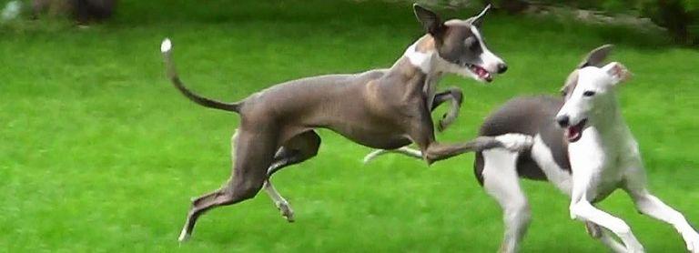 Italian Greyhound Rescue Florida